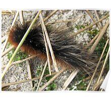 Huge, Hairy, Hebridean Caterpillar - Woolly Bear Poster