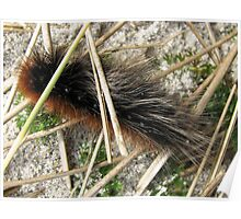 Huge, Hairy, Hebridean Caterpillar - Woolly Bear Poster
