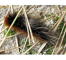 Huge, Hairy, Hebridean Caterpillar - Woolly Bear Photographic Print