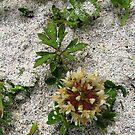 Hebridean Wildflower in the Sand Dunes by BlueMoonRose