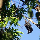 Spectacled Flying Fox by Anne-Marie Bokslag
