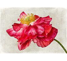 Red Double Poppy v1 Photographic Print