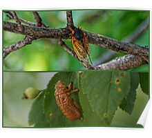 Cicada ~ Life Cycle Poster