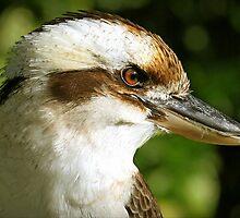 Kookaburra - A study by Tainia Finlay