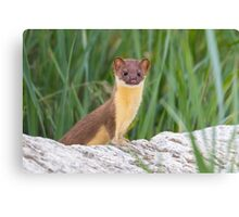Juvenile Long Tailed Weasel Canvas Print