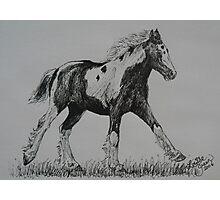 Gypsy Cob Foal Photographic Print