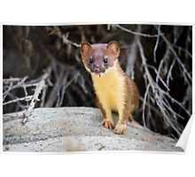 Juvenile Long Tailed Weasel Poster