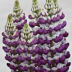 Purple Lupins by Julesrules