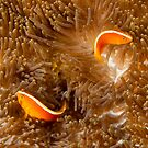 Yin and Yang Clownfish by Dieter Tracey