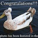 Mohawk Punk Duck (Feature Photo) by Trent Suski