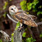 Barn Owl by Sam Scholes