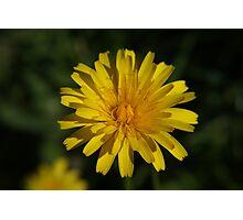 Backyard Daisy Photographic Print