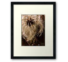 Clematis Seeds Framed Print