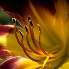 Red Lily in the Garden by genez