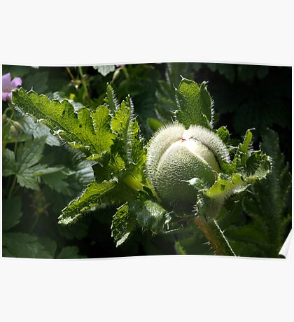 Poppy bud in the Formal Gardens  Poster