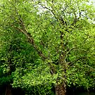 Beautiful  Springtime Tree ~Bonneville Dam Oregon by Elaine Bawden