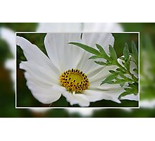 Cosmea Photographic Print