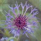 Cornflower Star  by DIANE  FIFIELD