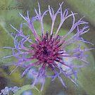 Cornflower Star  by DIANE  FIFIELD
