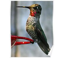 RUBY HOODED HUMMING  BIRD Poster