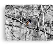 Towhee in a Tree  Canvas Print