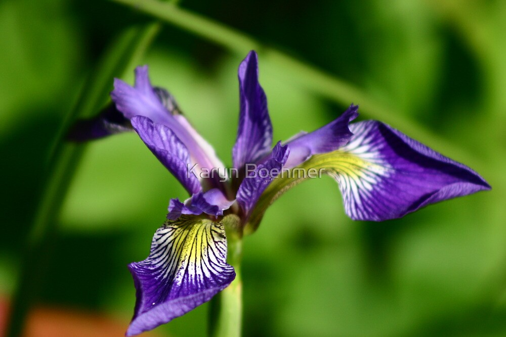 Iris by Karyn Boehmer