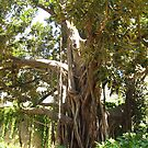 Ficus Tree by Maria1606