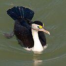 A Blue Eyed Cormorant by Lyn  Thomsen