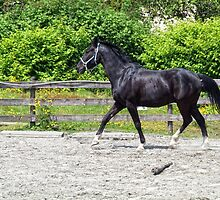 First Stallion by James Zickmantel