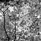 maple leaves by Erin Fitzgibbon
