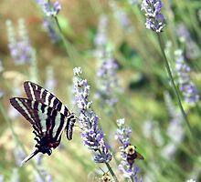 Lavender Zebra 2 by WalnutHill