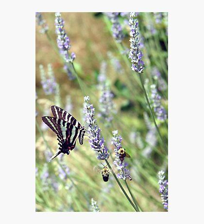 Lavender Zebra 2 Photographic Print