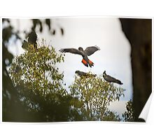red-tailed black cockatoos Poster