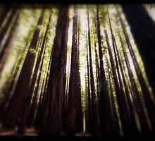 Redwoods by Di Jenkins
