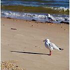 Silver Gull - Bribie Island by Stuart Cox