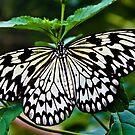 Delicate Wings by Selina Ryles