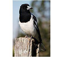 Pied Butcher Bird - Mt Mee, QLD Photographic Print