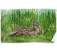 Female Mallard Duck and Chicks Poster