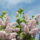 Lilacs in full bloom by Trifle