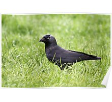 Jackdaw in the grass Poster