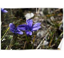 Fringed Gentian Poster