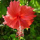 Red Hibiscus by machka