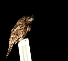 Tawny Frogmouth by Anne-Marie Bokslag