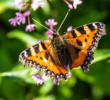 Small tortoiseshell by Martina Fagan