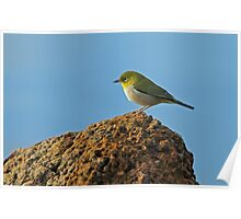 Silvereye For Andrea Poster