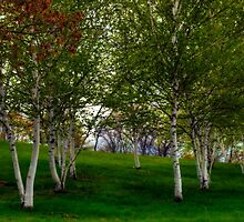The Beauty of Birch Trees by Monica M. Scanlan