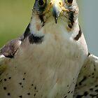 Hawk 6 by Roslyn Lunetta