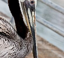 Wet Pelican by Robby Ticknor
