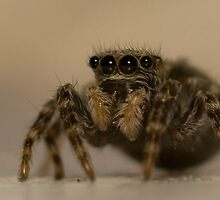 Jumping Spider by Michael Upshon