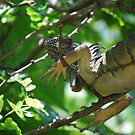 Iguana playing Hide and Seek by Dianne Grist